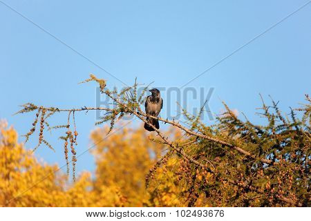 Crow In Autumn