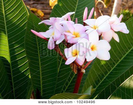 Kapernaum Frangipani Flower 2010