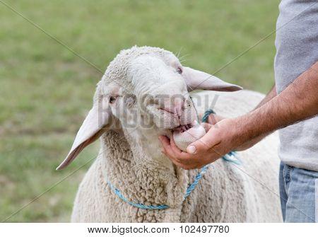 Sheep Exhibition