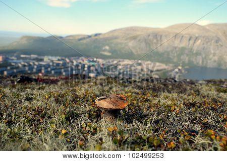 Alpine mushroom