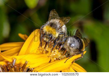 Two Bumblebee