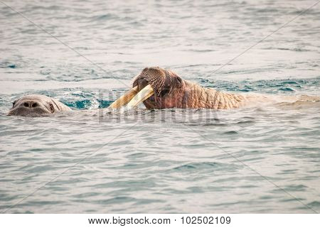 Walruses Swimming In The Sea