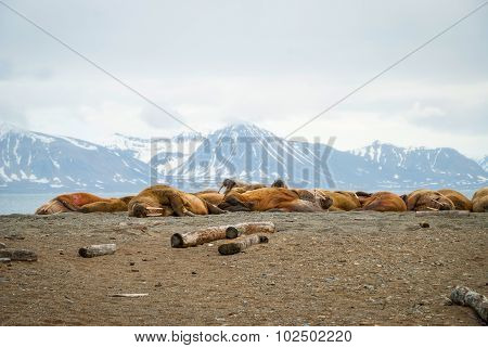 Walruses Lying On The Shore In Svalbard, Norway