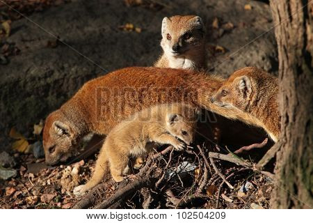 Yellow mongoose (Cynictis penicillata) with a baby. Wild life animal.