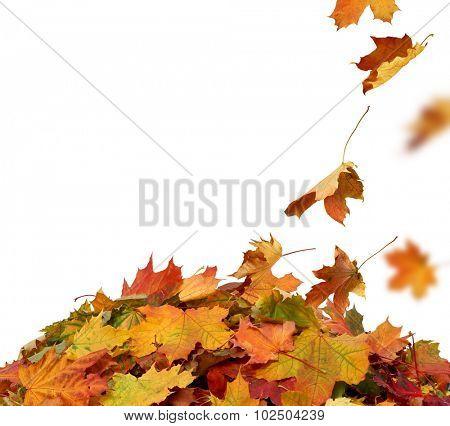 Autumn maple falling leaves isolated on white background
