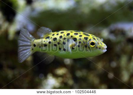 Green spotted puffer (Tetraodon nigroviridis). Wild life animal.