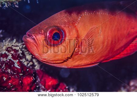 Priacanthidae,bigeye