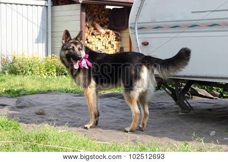 German Shepherd dog with a bow at the neck