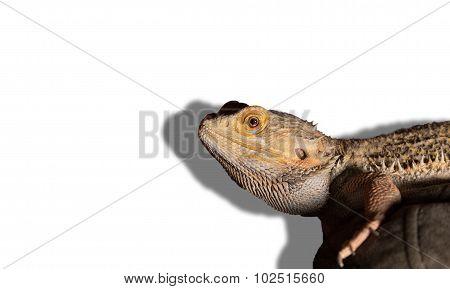 Bearded Dragon Looks At Camera