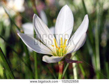 Zephyranthes Candida Herb