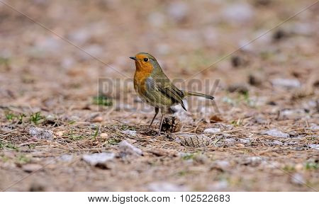 Robin, redbreast, standing on the ground, looking for food