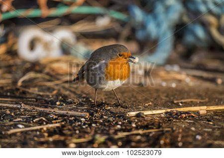 Robin, redbreast, standing on the ground eating, at the harbour