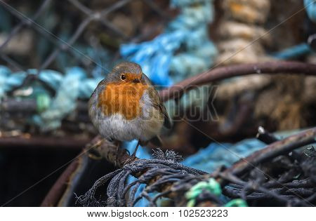 Robin perched on a creel at the harbour