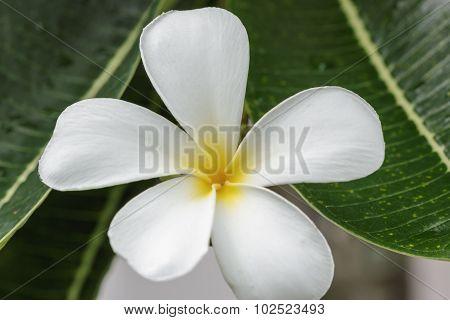 Flowers Frangipani Close Up