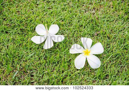 white plumeria on green grass.