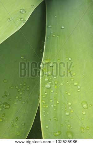Agave Attenuata Green Leaves With Fresh Drops Of Water Detail