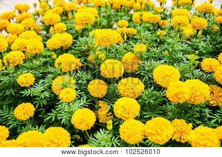 Beautiful yellow marigold