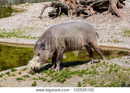 African Wild Pig At The Zoo