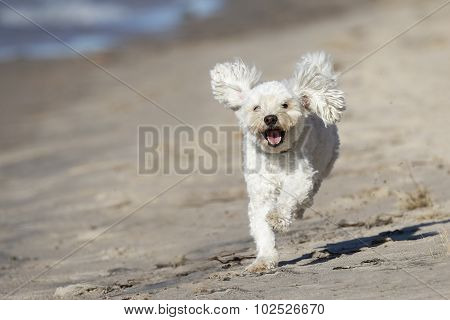 Small White Dog Running On A Sandy Beach