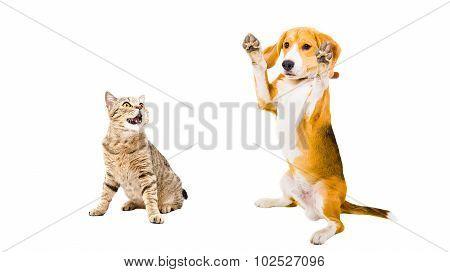 Funny Beagle dog and cat Scottish Straight