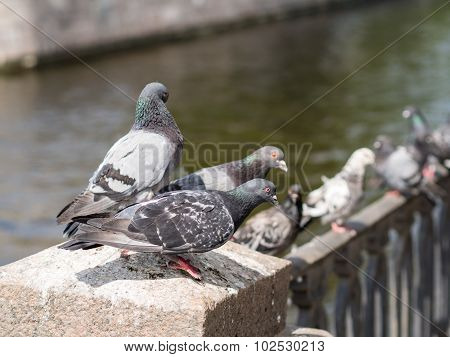 Flock Of Pigeons Near Water