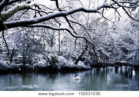 Beautiful Swan Lake in Winter Scene Peaceful Concept
