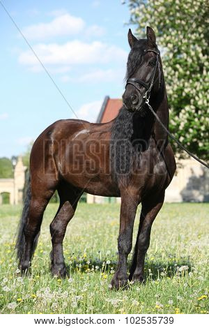 Friesian Horse Standing On The Grass