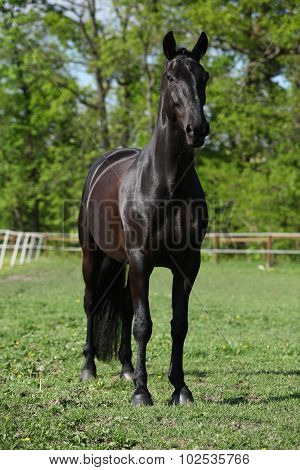 Beautiful Kwpn Stallion On Pasturage
