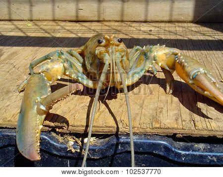 Yellow Lobster With Claw Open