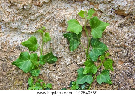 Green creeper on stone wall