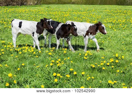 Three Black White Calves Walk In Green Meadow With Dandelions