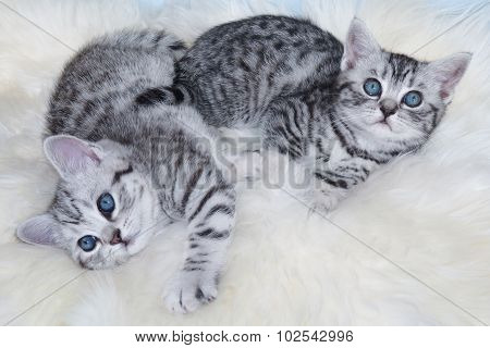 Two Young Black Silver Tabby Cats Lying Lazy Together On Sheep Fur