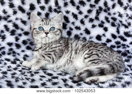 Young Black Silver Tabby Spotted British Shorthair Cat  Lying On Black And White Fur