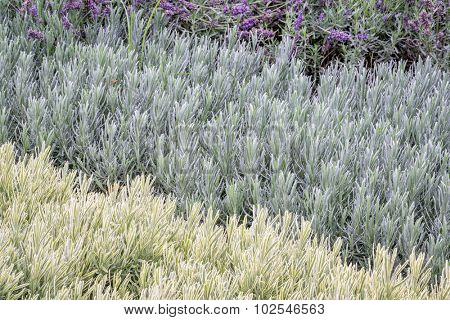 lavandula (lavender) foliage and flowers background, flower bed with three plant varieties