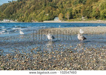 Seahurst Beach Seagulls 2