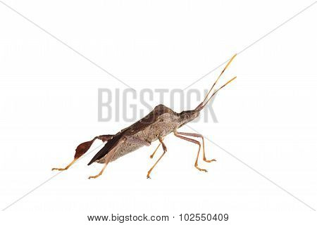 Leaflegged Bug  Isolated On White.