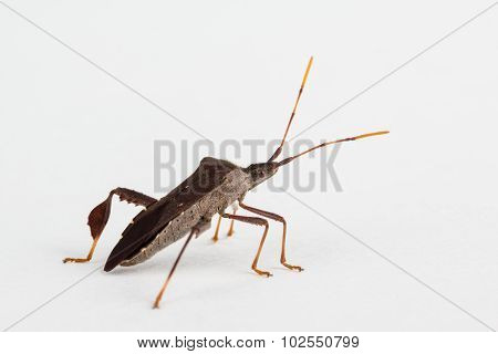 Leaf-footed Insect Close Up