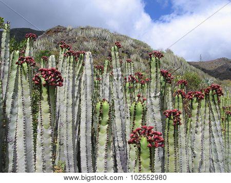 Canary Island spurge, Euphorbia canariensis