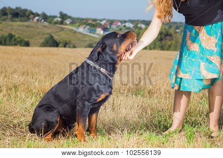 Rottweiler with mistress hand