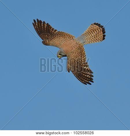 Common Kestrel  flying over fields  (falco tinnunculus)