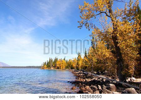 Autumn trees by Jackson lake in Wyoming