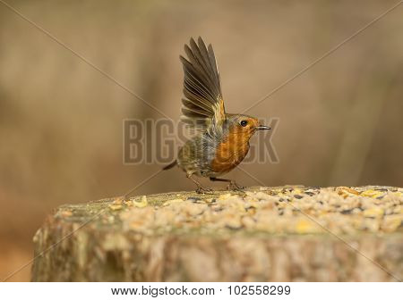 Robin, redbreast, about to fly from a tree stump, after feeding
