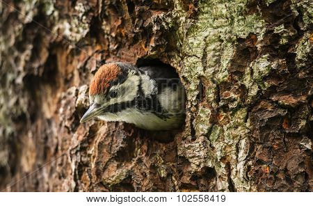 Great spotted woodpecker Dendrocopos major juvenile looking out of its nest in the side of a tree
