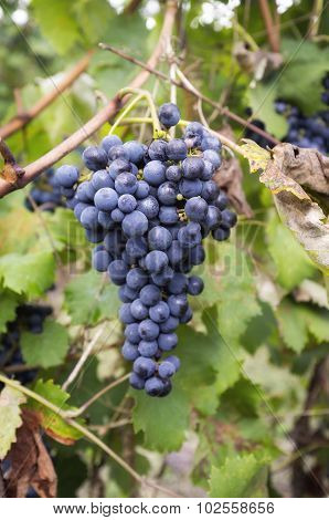 Bunches of ripe grapes. Color image