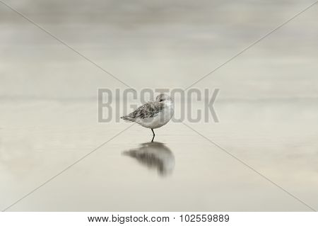 Sanderling Calidris alba resting in the sea with a reflection
