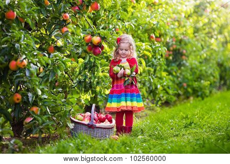Little Girl Picking Apples From Tree In A Fruit Orchard