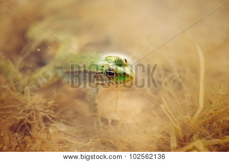 Close Up Of A Green Frog