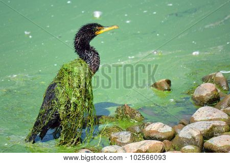 Slime Covered Cormorant Bird