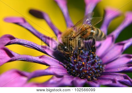 Macro Bee Pollinating Purple Flower
