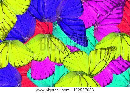 Orange Albatross Butterfly (appias Nero)